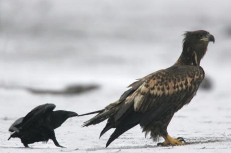«Серый кардинал» Кононенко ощипывает теневого олигарха Орлова